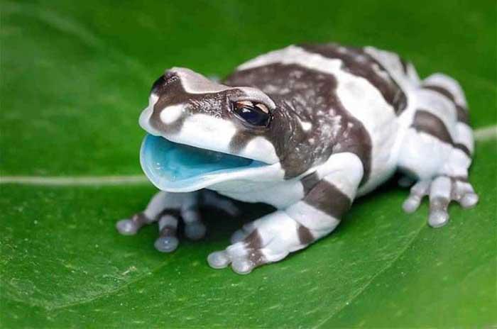 Amazon-milk-frog