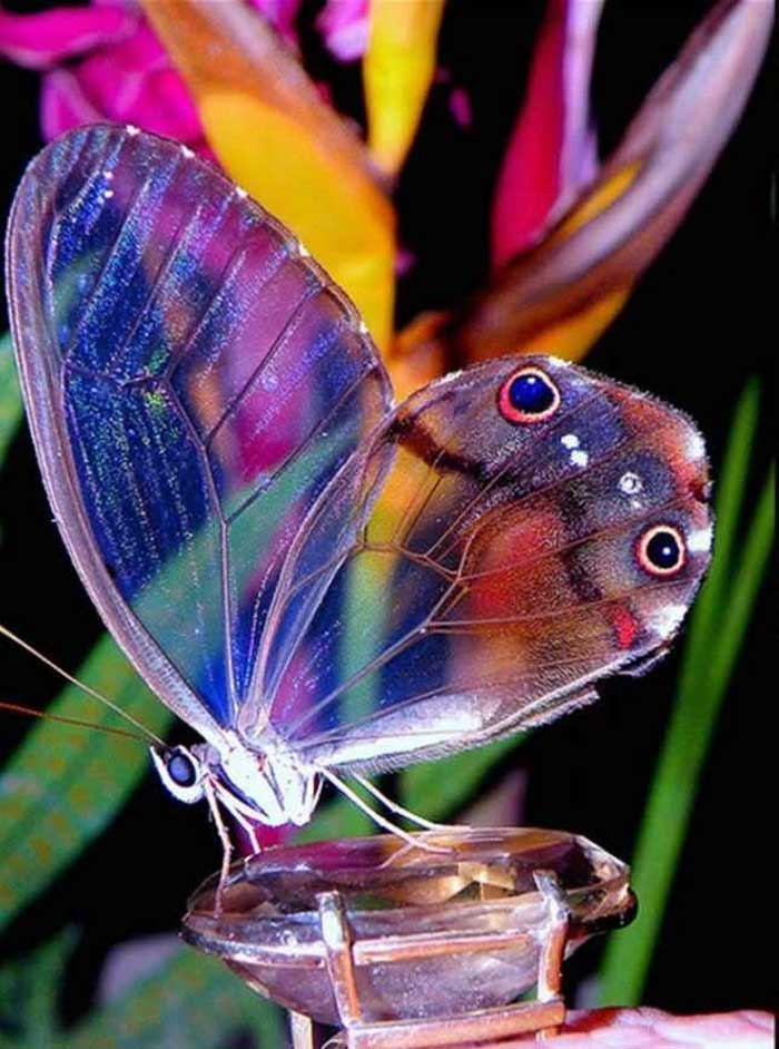 Amber-phantom-butterfly