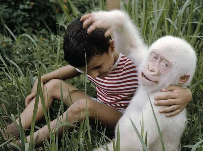 Friendly-Albino-Gorilla
