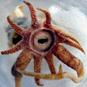 Promachoteuthis-sulcus