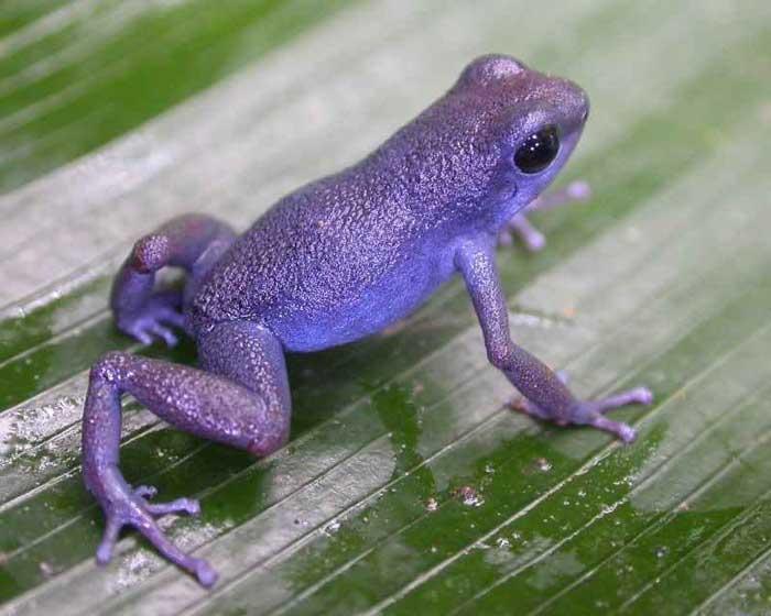 Purple-frogs