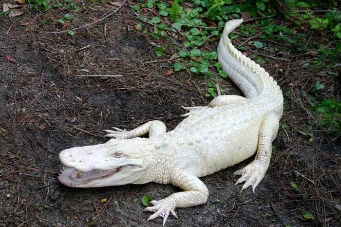 Rare-Albino-Alligator