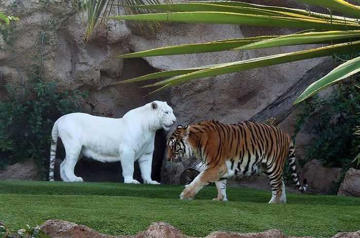 Stunning-Albino-Bengal-Tiger