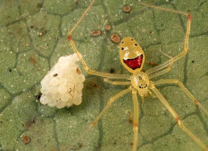 Theridion-grallator-the-happy-faced-spider